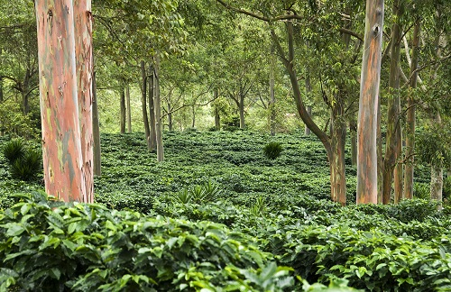 Coffee field in Costa Rica (Diego Cupolo)