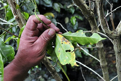 Coffee  Rust in Colombia